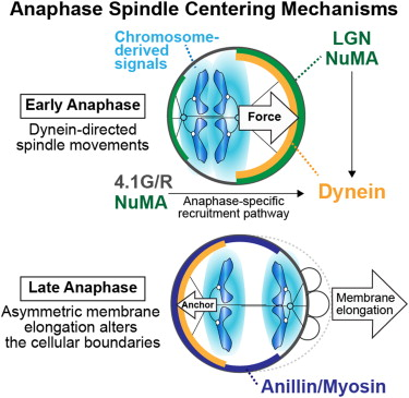 Late Anaphase Diagram Trusted Wiring Diagrams