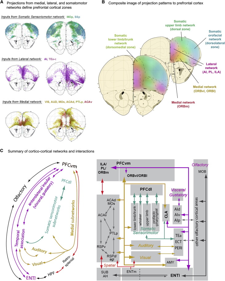Neural Networks of the Mouse Neocortex - ScienceDirect