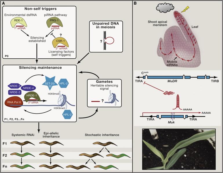 Transgenerational Epigenetic >> Transgenerational Epigenetic Inheritance Myths And Mechanisms