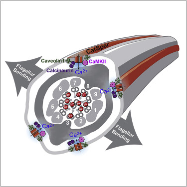 Structurally Distinct Ca2+ Signaling Domains of Sperm