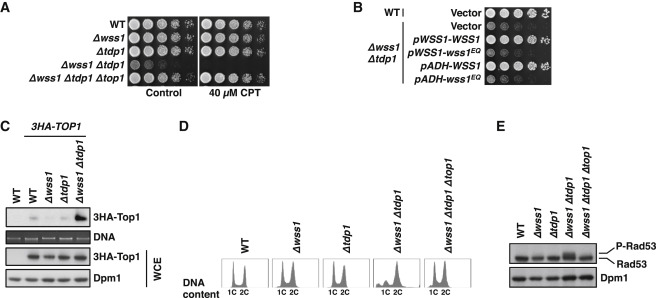 A DNA-Dependent Protease Involved in DNA-Protein Crosslink Repair ... e0fa870e6a