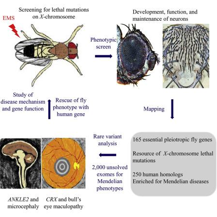 drosophila melanogaster genetics lab report