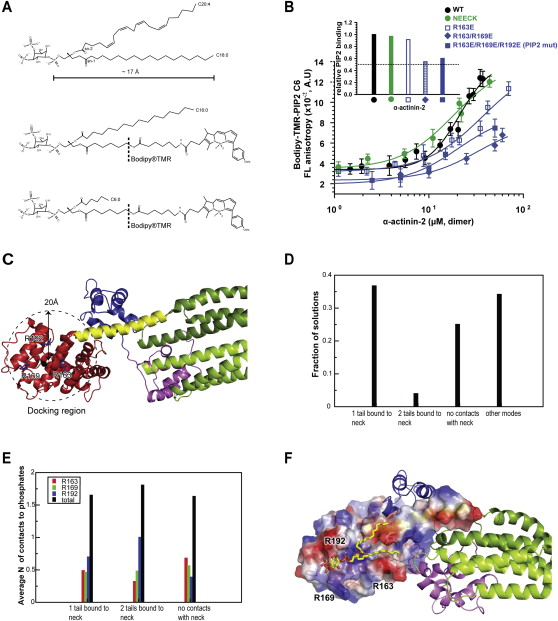 The Structure and Regulation of Human Muscle α-Actinin