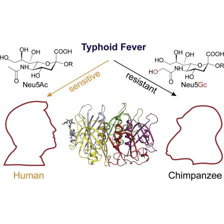 toxine typhoide)