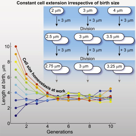 A Constant Size Extension Drives Bacterial Cell Size Homeostasis