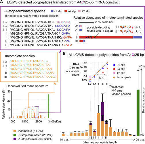 Ribosome Excursions during mRNA Translocation Mediate Broad ...