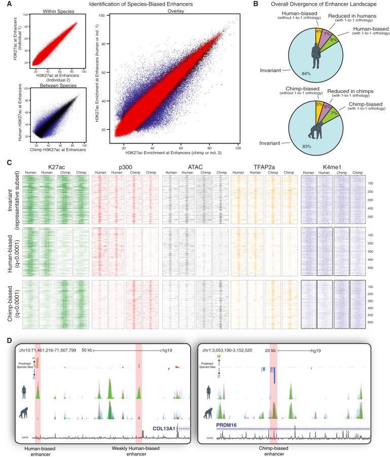 Enhancer Divergence and cis-Regulatory Evolution in the