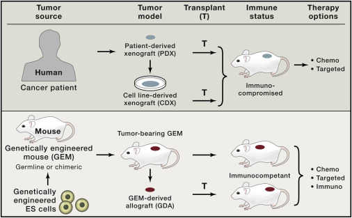 Preclinical Mouse Cancer Models A Maze Of Opportunities And Challenges Sciencedirect