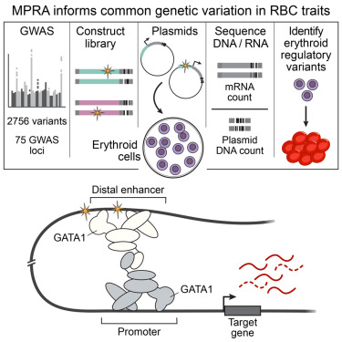 Common Gene Variants Account For Most >> Systematic Functional Dissection Of Common Genetic Variation
