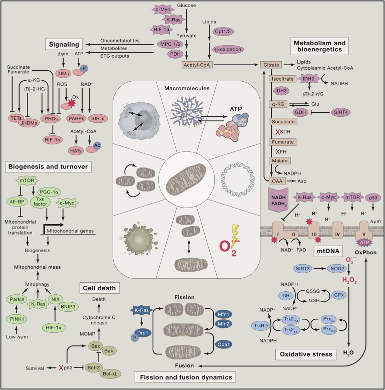 Mitochondria And Cancer Sciencedirect
