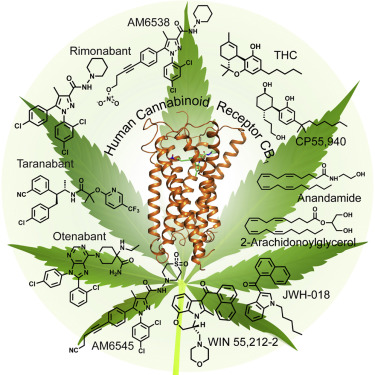 crystal structure of the human cannabinoid receptor cb1 sciencedirect
