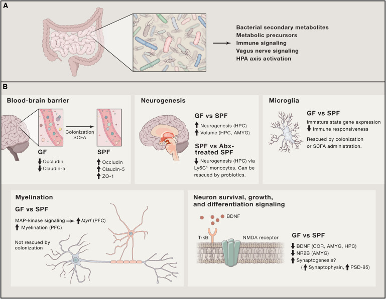 Brain Development Influenced By Immune >> The Central Nervous System And The Gut Microbiome Sciencedirect