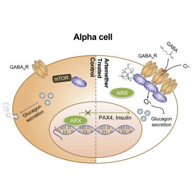 Artemisinins Target GABAA Receptor Signaling and Impair α Cell Identity