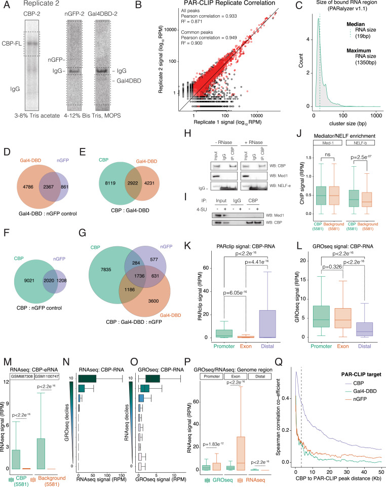 RNA Binding to CBP Stimulates Histone Acetylation and