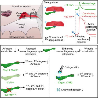 Macrophages facilitate electrical conduction in the heart graphical abstract ccuart Choice Image