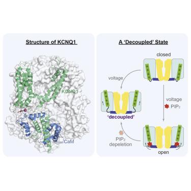 Cryo-EM Structure of a KCNQ1/CaM Complex Reveals Insights