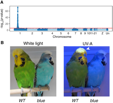 Genetic Mapping and Biochemical Basis of Yellow Feather Pigmentation