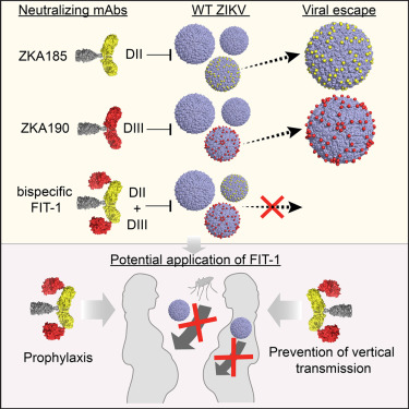 a human bi specific antibody against zika virus with high
