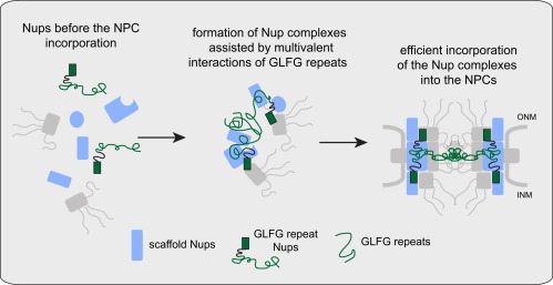 Natively Unfolded FG Repeats Stabilize the Structure of the