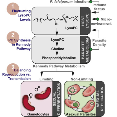 Asexual life cycle of plasmodium falciparum treatment