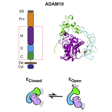 Structural Basis for Regulated Proteolysis by the α