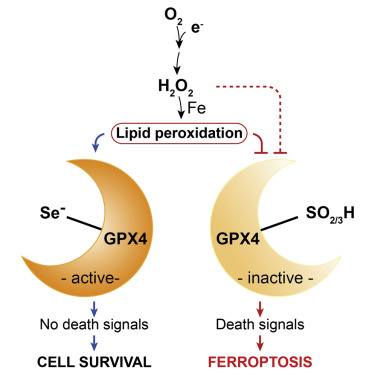 Selenium Utilization by GPX4 Is Required to Prevent Hydroperoxide