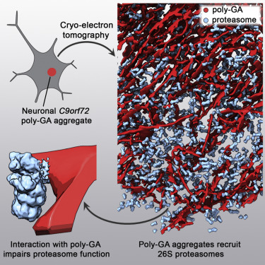 in situ structure of neuronal c9orf72 poly ga aggregates reveals