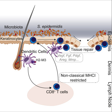 Highlights • Non-classical MHC class I molecules promote homeostatic immunity to the microbiota • Commensal-specific T cells express immunoregulatory and tissue repair signatures • Commensal-specific T cells accelerate wound closure