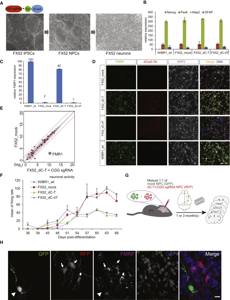 Rescue Of Fragile X Syndrome Neurons By Dna Methylation