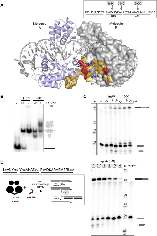 Dna Flips And Swaps Scramble Genes >> Transposase Dna Complex Structures Reveal Mechanisms For Conjugative