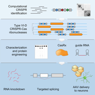 Transcriptome Engineering with RNA-Targeting Type VI-D