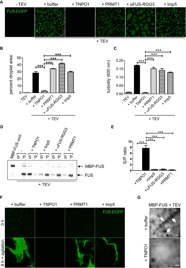 Phase Separation of FUS Is Suppressed by Its Nuclear Import Receptor ...