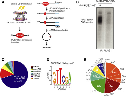 Pseudouridylation of tRNA-Derived Fragments Steers