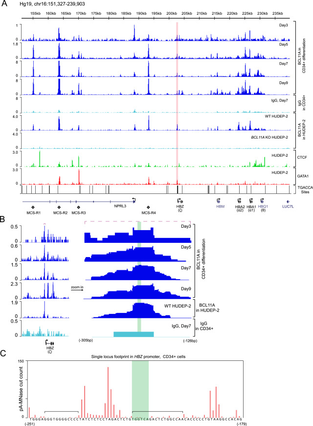 Direct Promoter Repression by BCL11A Controls the Fetal to