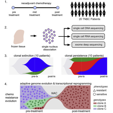 Chemoresistance Evolution in Triple-Negative Breast Cancer