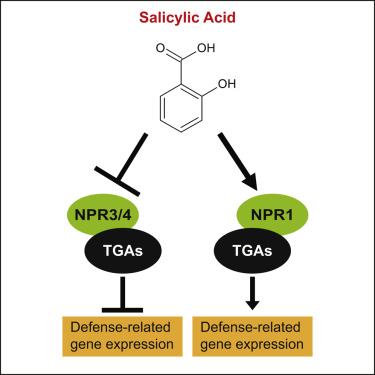 Salicylic Acid Receptors Npr1