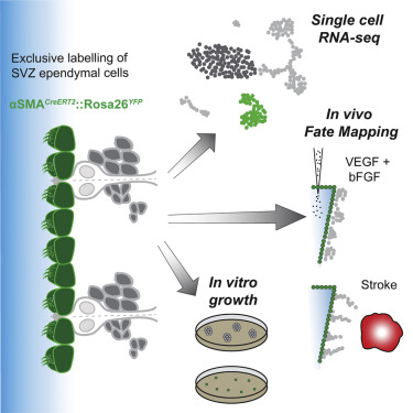 Single-Cell Transcriptomics and Fate Mapping of Ependymal ... on dna mapping, thomas morgan's linkage mapping, community mapping, cognitive mapping, mental mapping,