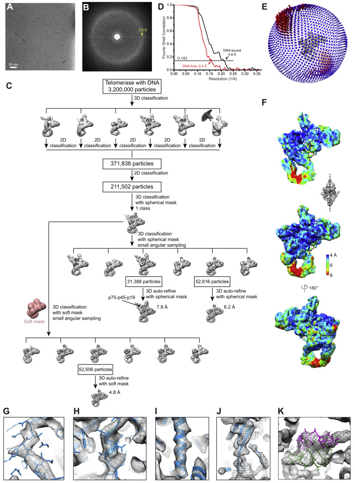 Structure of Telomerase with Telomeric DNA - ScienceDirect