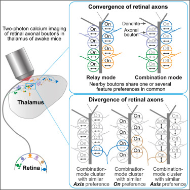 A Fine-Scale Functional Logic to Convergence from Retina to ... on