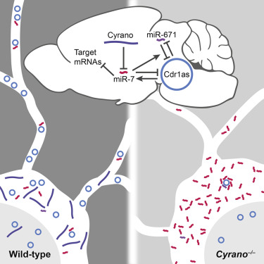 A network of noncoding regulatory rnas acts in the mammalian brain graphical abstract ccuart Images