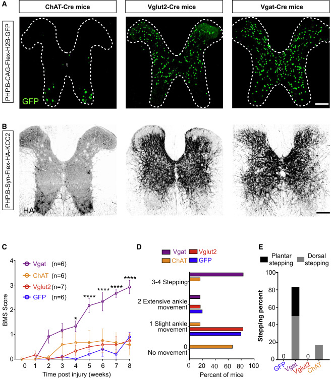 Reactivation of Dormant Relay Pathways in Injured Spinal Cord by