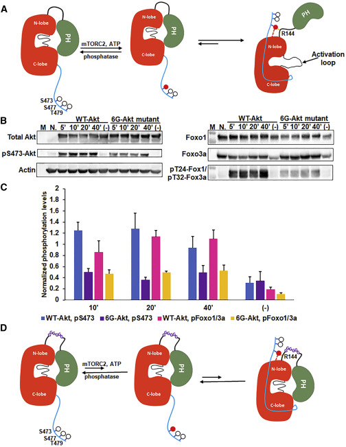 Akt Kinase Activation Mechanisms Revealed Using Protein