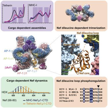HIV-1 Nefs Are Cargo-Sensitive AP-1 Trimerization Switches in