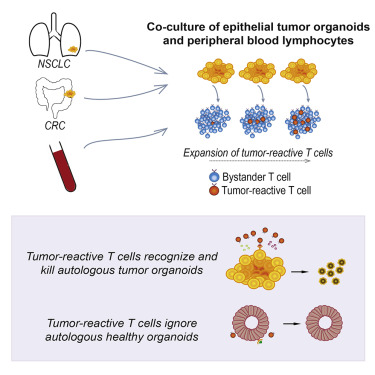 Generation of Tumor-Reactive T Cells by Co-culture of