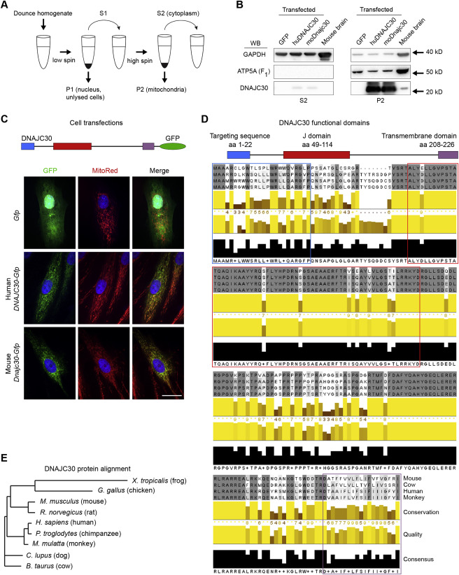 The 7q11 23 Protein DNAJC30 Interacts with ATP Synthase and