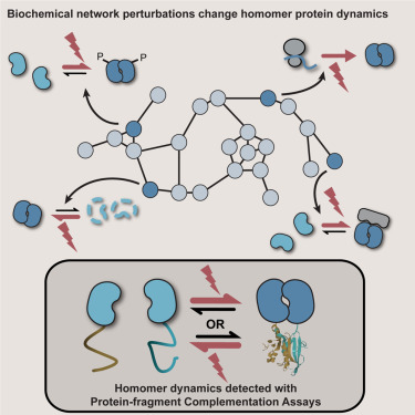 Changes Of Cell Biochemical States Are Revealed In Protein Homomeric Complex Dynamics Sciencedirect