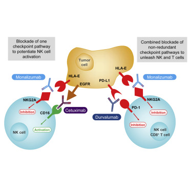 Anti-NKG2A mAb Is a Checkpoint Inhibitor that Promotes Anti