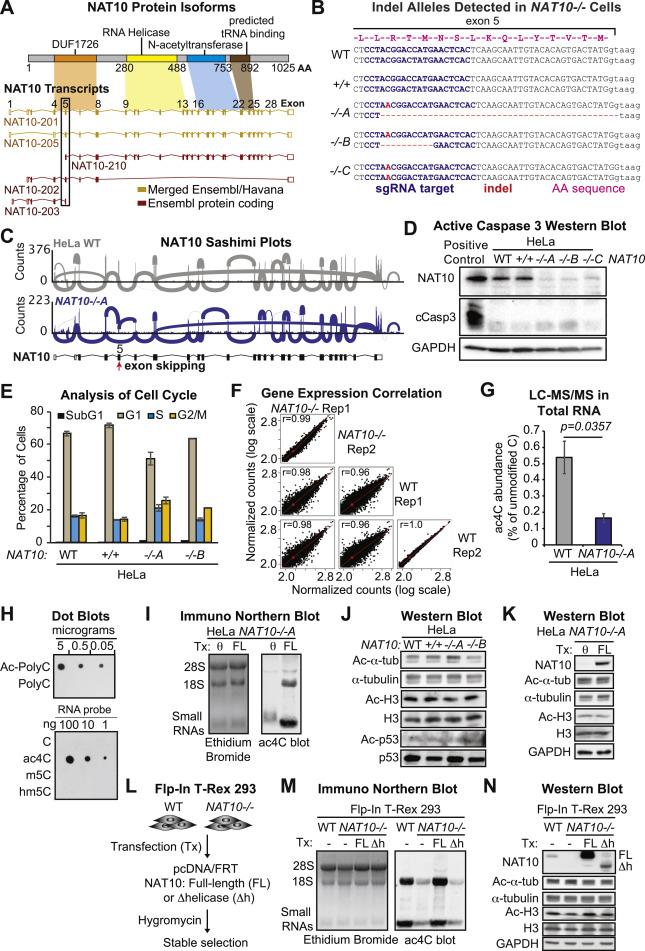 Acetylation of Cytidine in mRNA Promotes Translation Efficiency