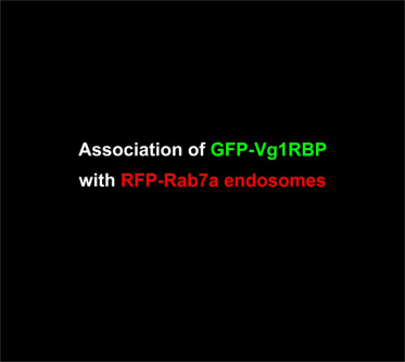 Late Endosomes Act as mRNA Translation Platforms and Sustain