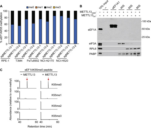 METTL13 Methylation of eEF1A Increases Translational Output to
